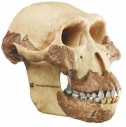 Model Czaszka Australopitecus afarensis