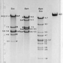Kompletny zestaw eksperymentalny: Elektroforeza plazmidu DNA-Lambda